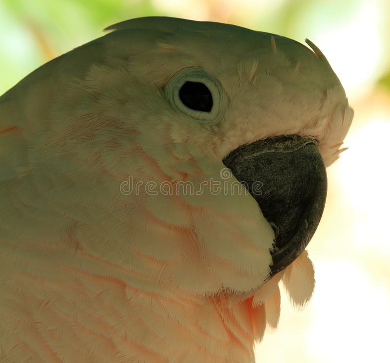 Cockatoo Parrot, Exotic Bird stock photos