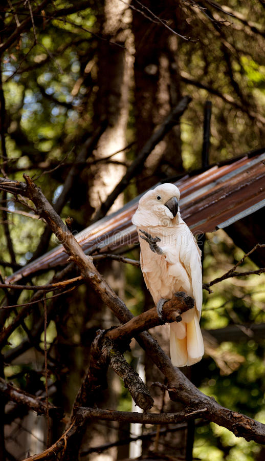 Cockatoo. Portrait of a cockatoo on a branch in a shaded area royalty free stock photos