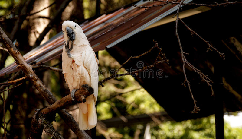 Cockatoo. Portrait of a cockatoo on a branch in a shaded area stock photo