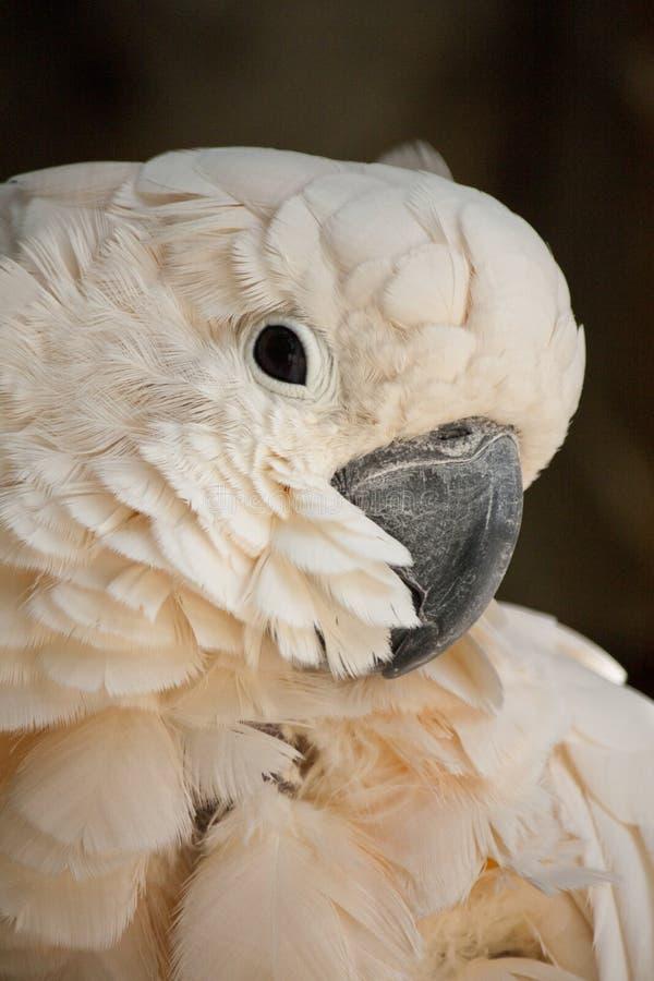 Cockatoo Saumon-crêté photos stock