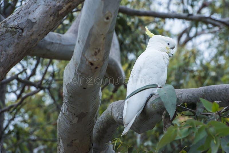 White cockatoo sitting in tree, Australia stock photos