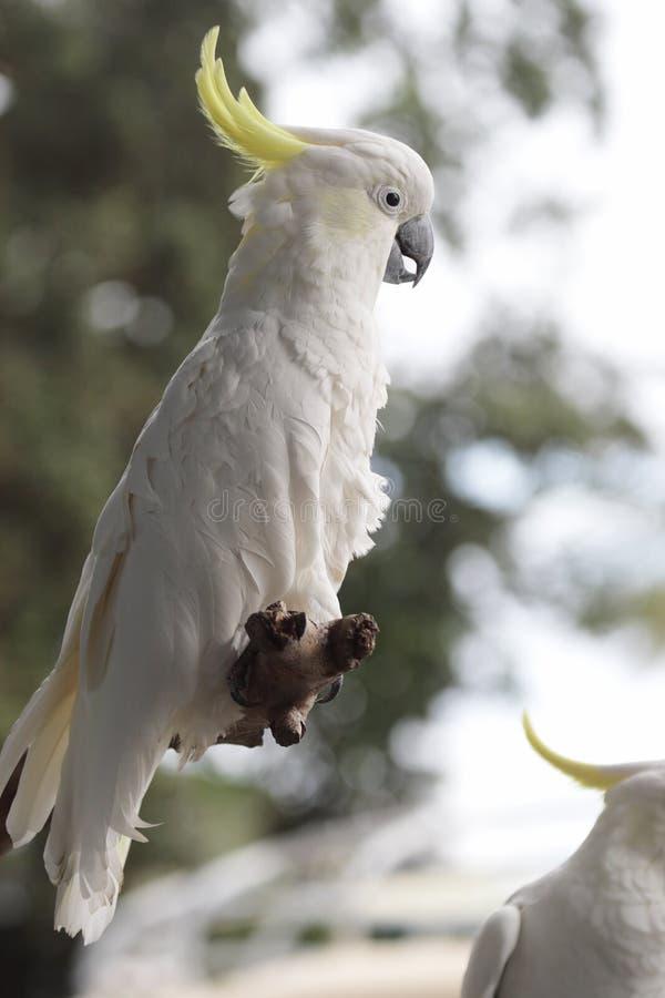 Cockatoo Soufre-crêté (galerita de Cacatua) photographie stock