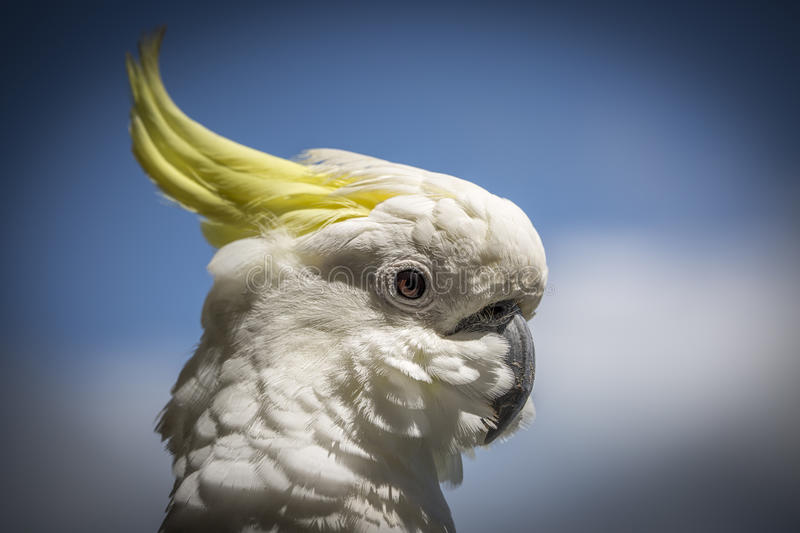 Cockatoo is standing guard royalty free stock images