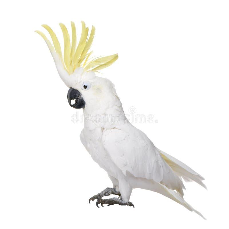 Cockatoo Sulfuro-con cresta (22 años) imagen de archivo libre de regalías