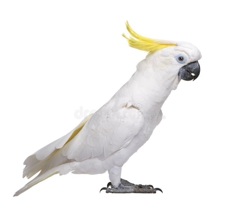Cockatoo Sulfuro-con cresta - galerita del Cacatua imagenes de archivo