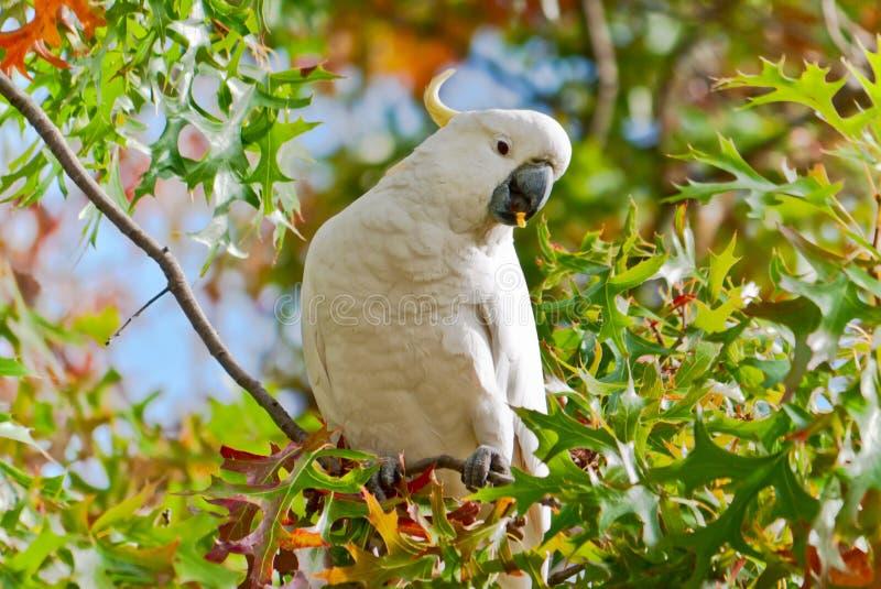 Cockatoo royalty free stock photos