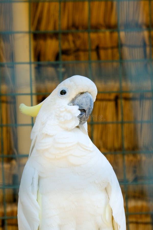 Cockatoo-Vogel burung kaka tua raja indonesia stockfotos