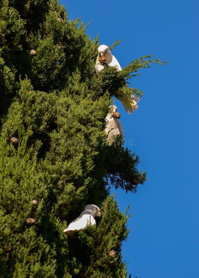 Cockatoos που έχει το μεγάλο μεσημεριανό γεύμα στοκ εικόνες