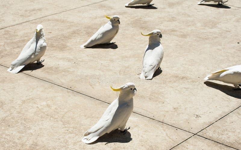 cockatoos stock afbeeldingen