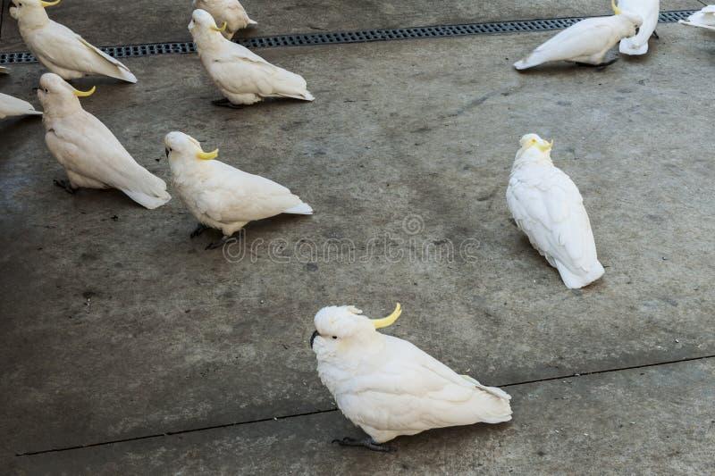 cockatoos stock fotografie