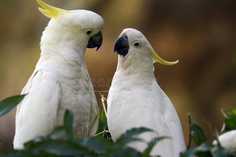 Cockatoos imagen de archivo