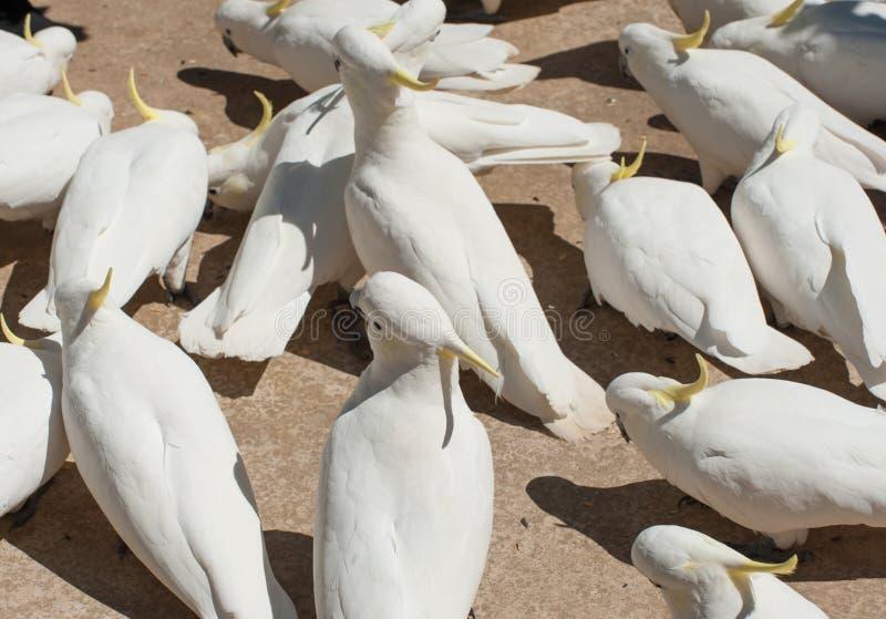 cockatoos royalty-vrije stock afbeeldingen