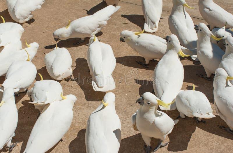 cockatoos stock foto