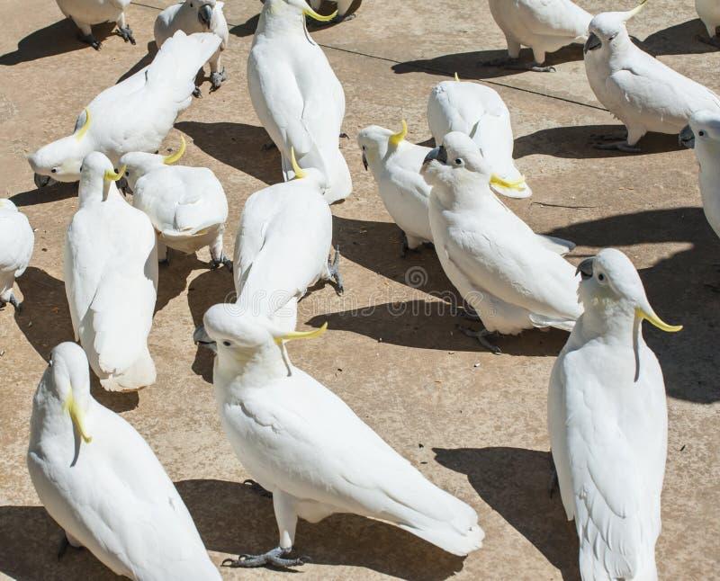 cockatoos stock afbeelding