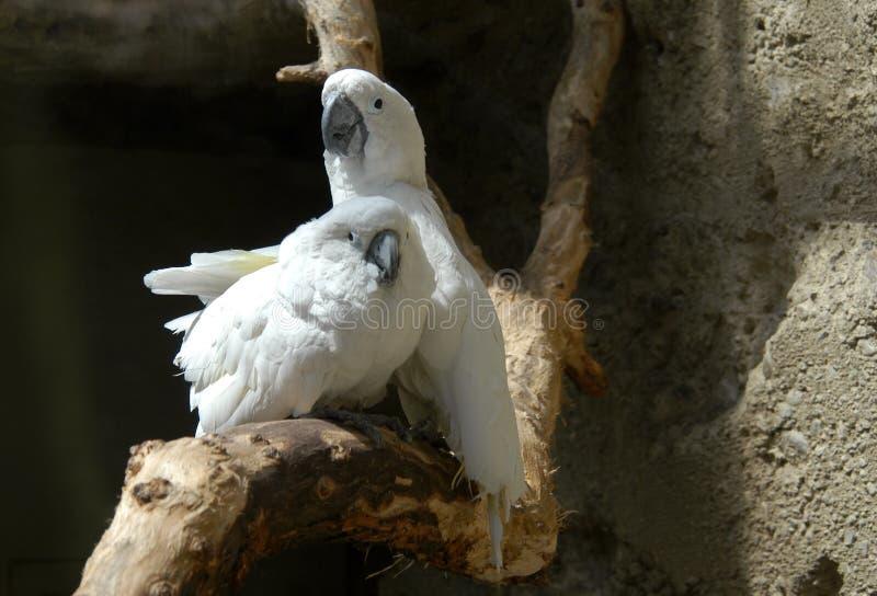 Cockatoos brancos imagens de stock