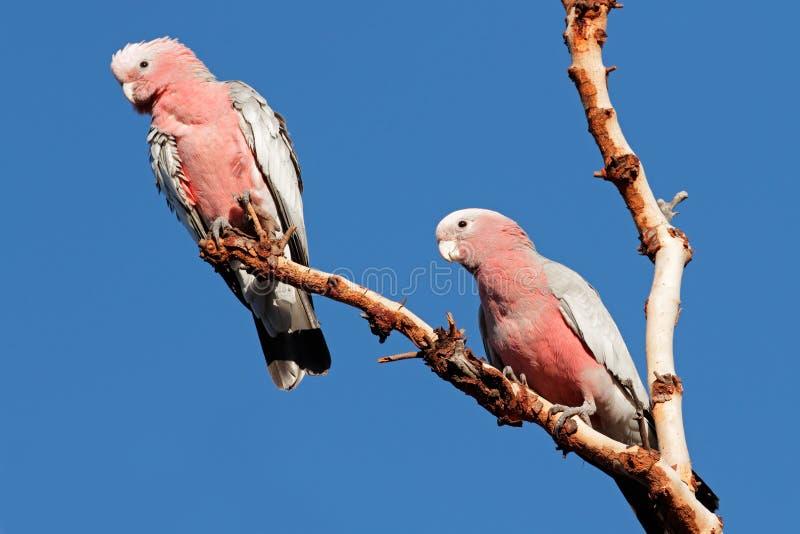 Cockatoos de Galah, Austrália fotos de stock