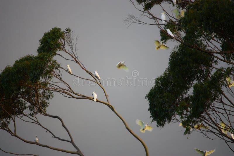 Cockatoos stock photos