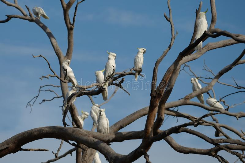 Cockatoos on a tree stock photography