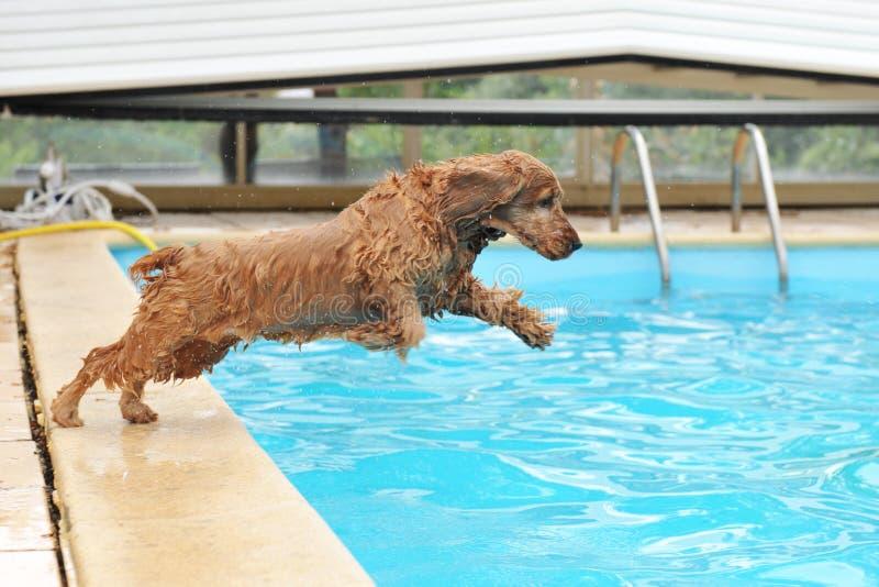 Cocker da natação fotografia de stock