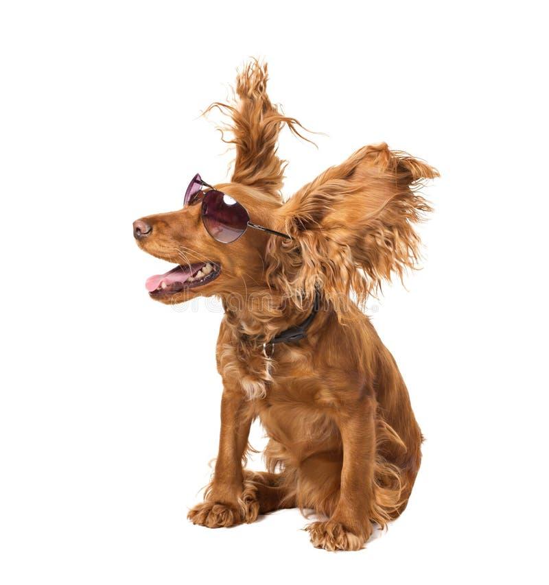 Cocker do cão nos óculos de sol imagem de stock