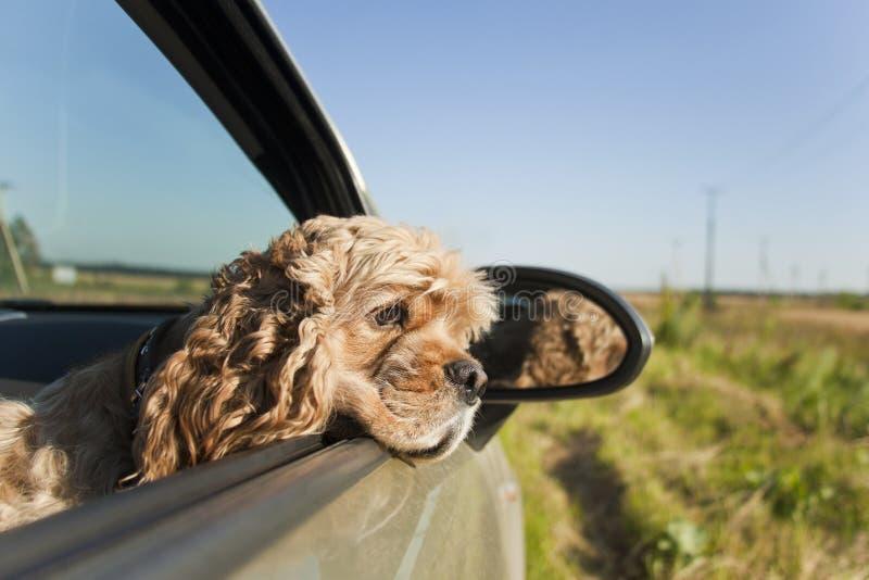 Cocker-spaniël in auto stock foto