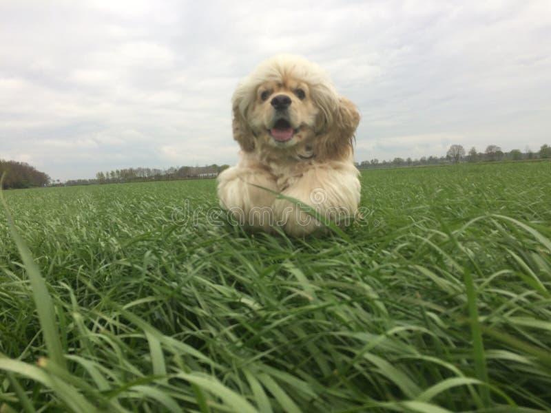 Cocker-spaniël die op gebied van lang gras springen royalty-vrije stock foto's