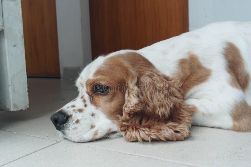 Cocker-spaniël op de vloer stock foto