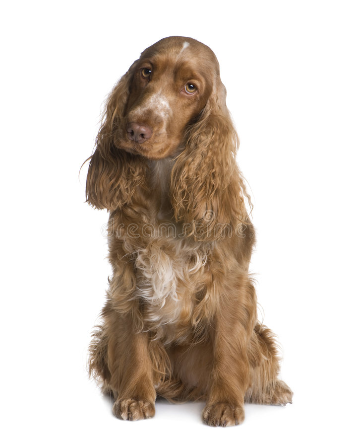 Cocker Spaniel (1.5 years) stock images