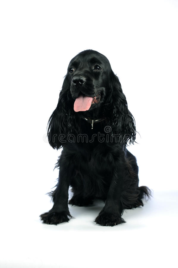 Cocker Spaniel. Breed sitting in front of a white background stock photography