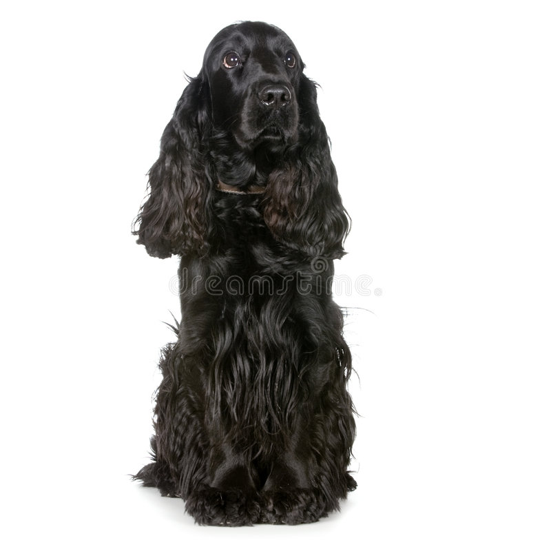Download Cocker Spaniel stock image. Image of collar, doggy, cocker - 2314617