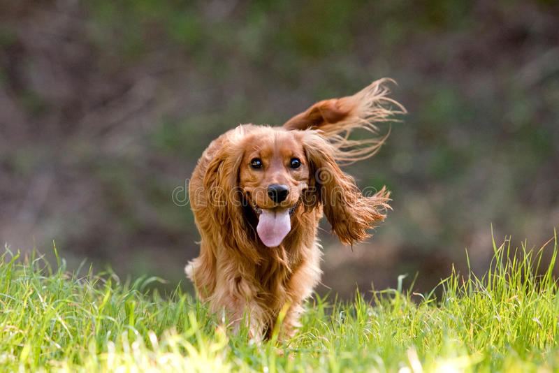 Cocker spaniel. Happy cocker spaniel running in the forest royalty free stock images