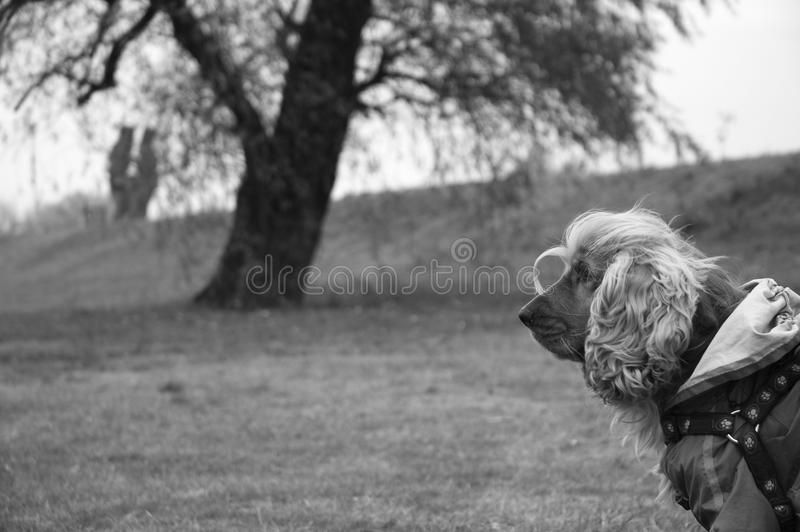 Download Cocker spaniel stock photo. Image of doggy, pets, look - 28583292