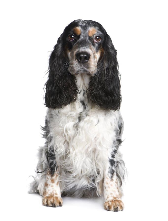 Cocker Spaniel (5 years) stock photography
