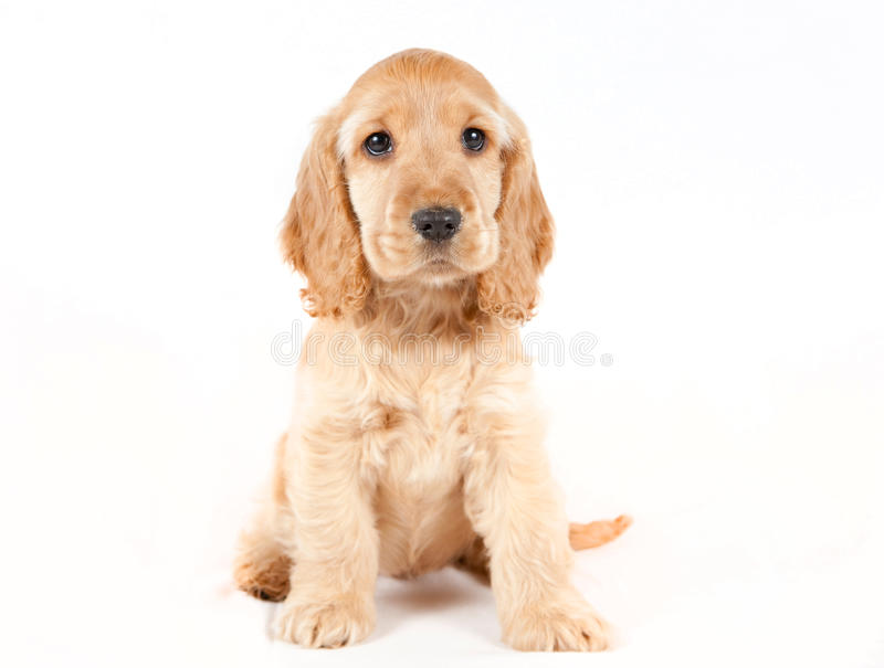 Cocker spaniel fotografia de stock royalty free