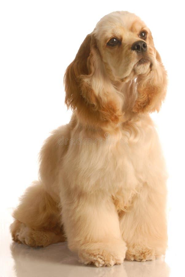 Download Cocker spaniel stock photo. Image of mammal, cocker, breed - 6933596