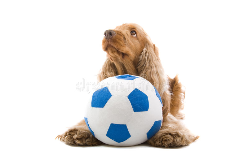 Cocker Spaniel with ball. Close up of cute Cocker Spaniel dog with soccer ball, isolated on white background royalty free stock images