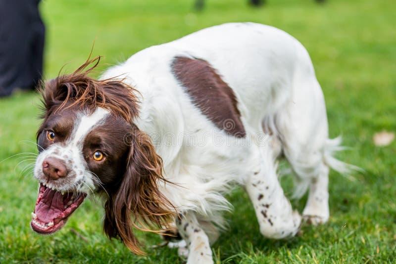 Cocker Spaniel Baring Teeth. Cocker Spaniel Running across a garden Lawn Baring Teeth royalty free stock image