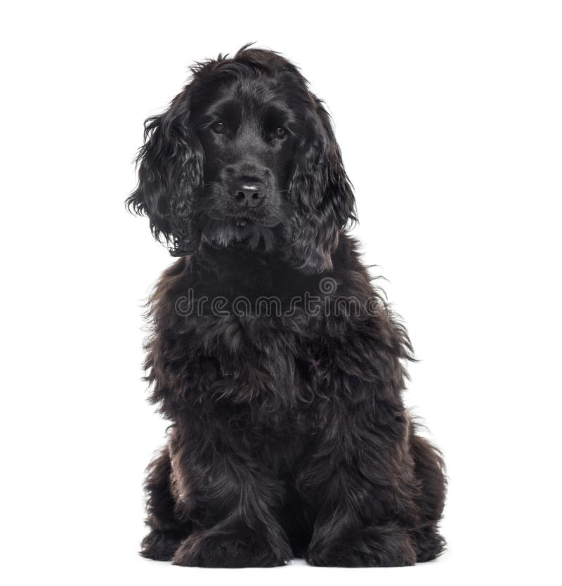 Cocker Spaniel Breed dog. Isolated on white royalty free stock images