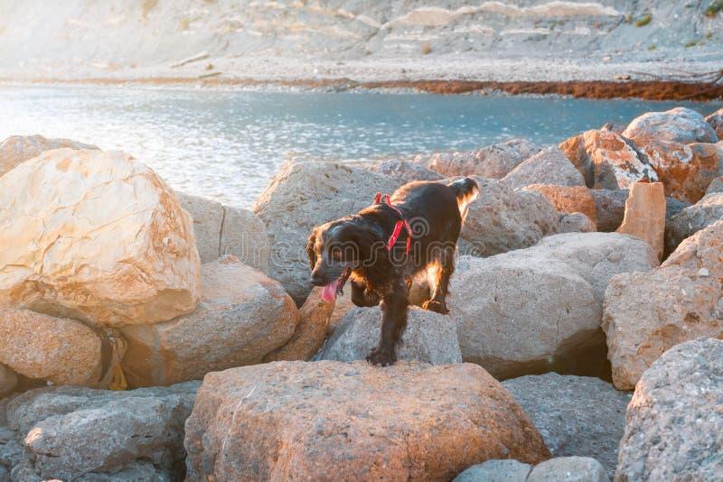 Cocker Spaniel camina en las rocas cerca del mar en la puesta del sol imágenes de archivo libres de regalías
