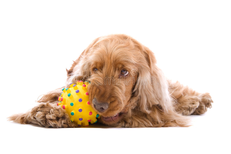 Cocker spaniel chewing ball. Close up of cute cocker spaniel dog lying on ground chewing ball, isolated on white background stock photo