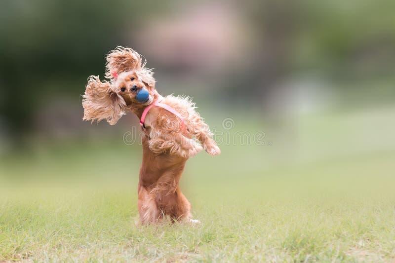 Cocker spaniel dog jumping and blocking a ball. stock image