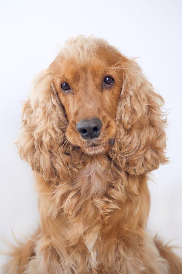 Cocker spaniel dog portrait. On simple background royalty free stock photo