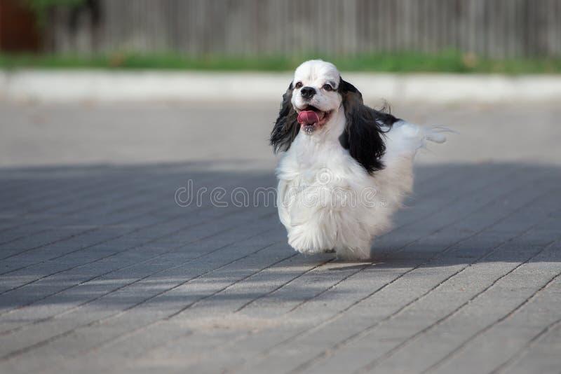 Cocker spaniel dog running outdoors in summer. Adorable cocker spaniel dog outdoors royalty free stock photos