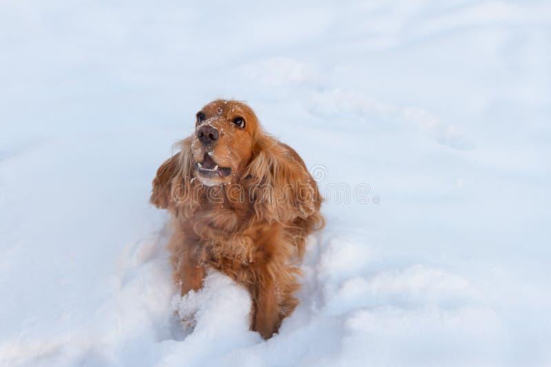 Cocker spaniel en la nieve fotografía de archivo