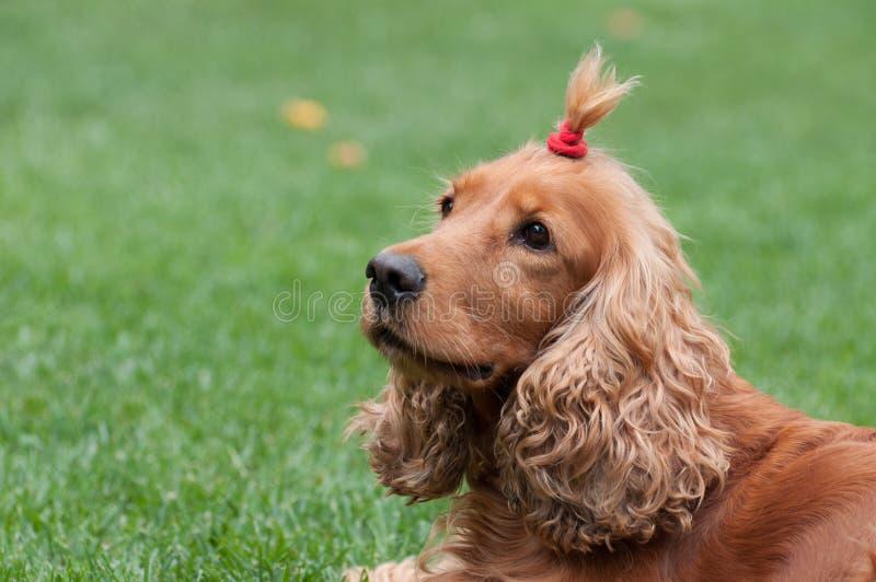 Cocker Spaniel with funny haircut, horizontal view stock photo