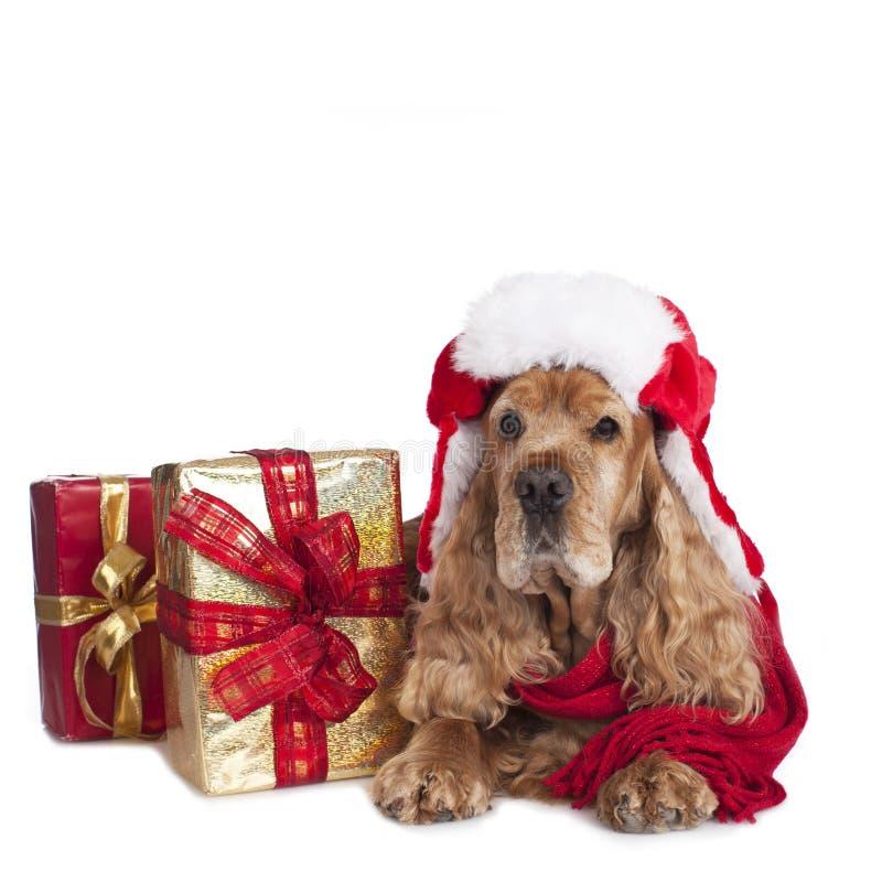 cocker spaniel hund auf weihnachten lokalisiert auf wei. Black Bedroom Furniture Sets. Home Design Ideas