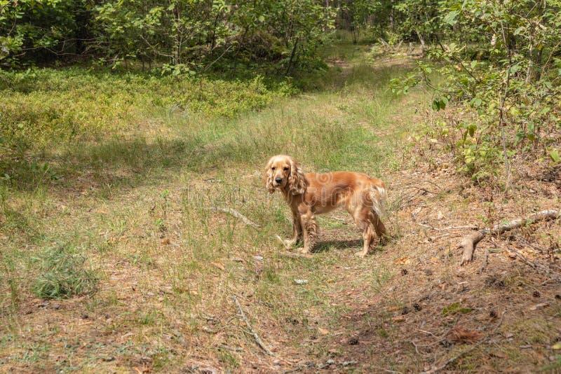 Cocker Spaniel inglês que joga a bola de futebol em uma floresta do pinho em um dia ensolarado bonito fotos de stock royalty free