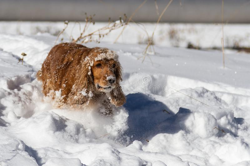Cocker spaniel inglês que joga na neve profunda fotos de stock