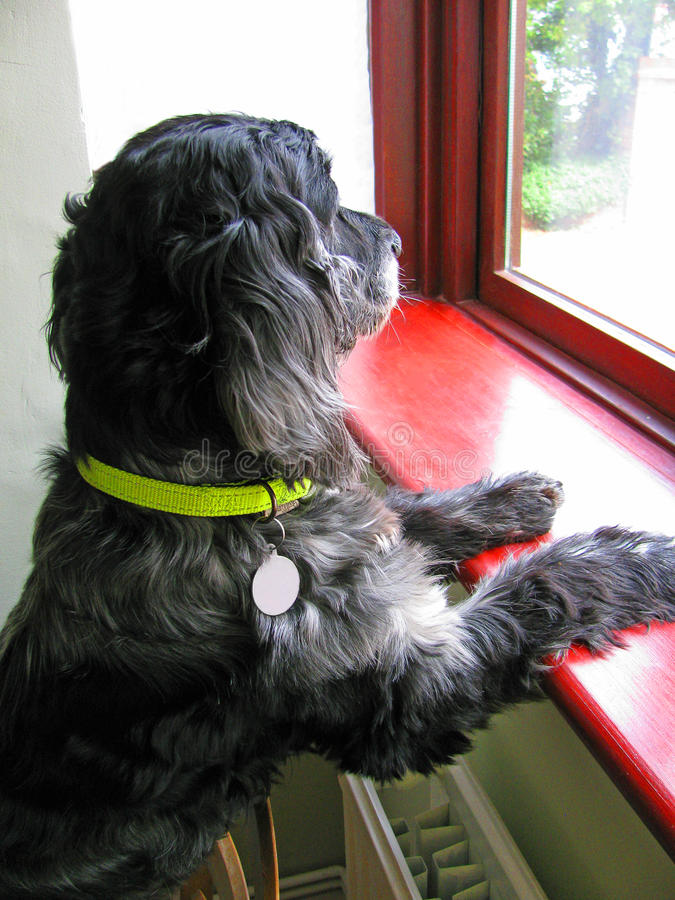 Cocker Spaniel looking out of window royalty free stock images