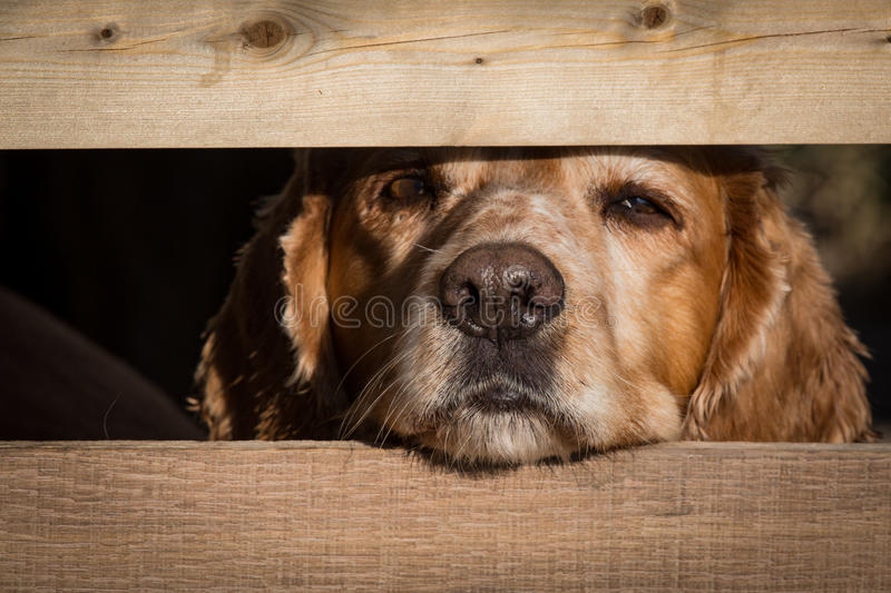 Cocker spaniel looks through fence post with wet nose royalty free stock images